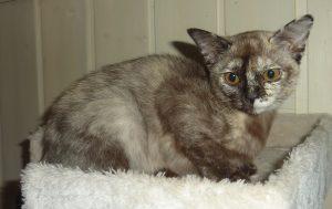 (N) Kattehula's Roxie, Ägare & fotograf: Irene Antonsen